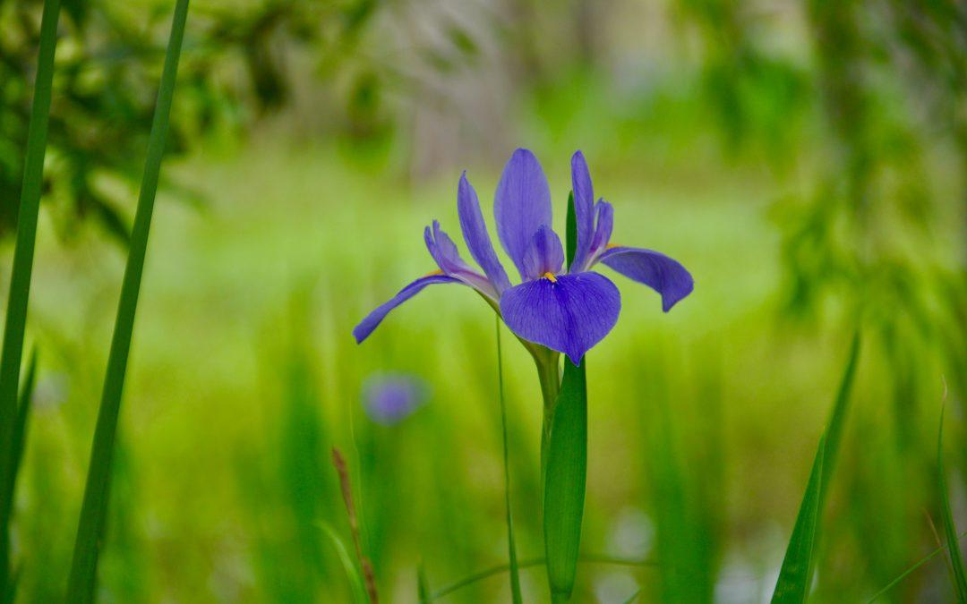 Louisiana Irises in Bloom